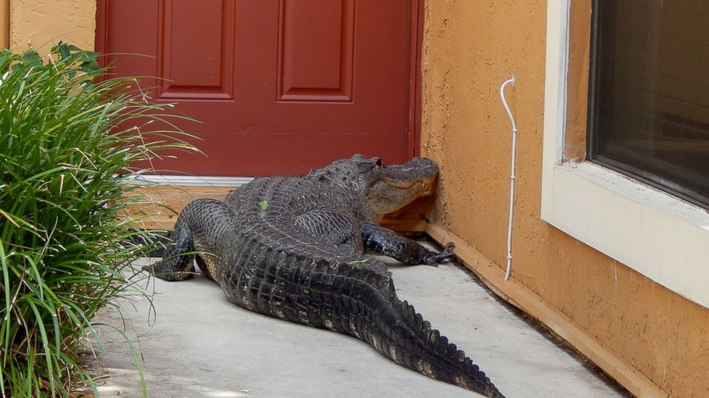 Alligator Found Lounging On Family's Alligator Pool Float At