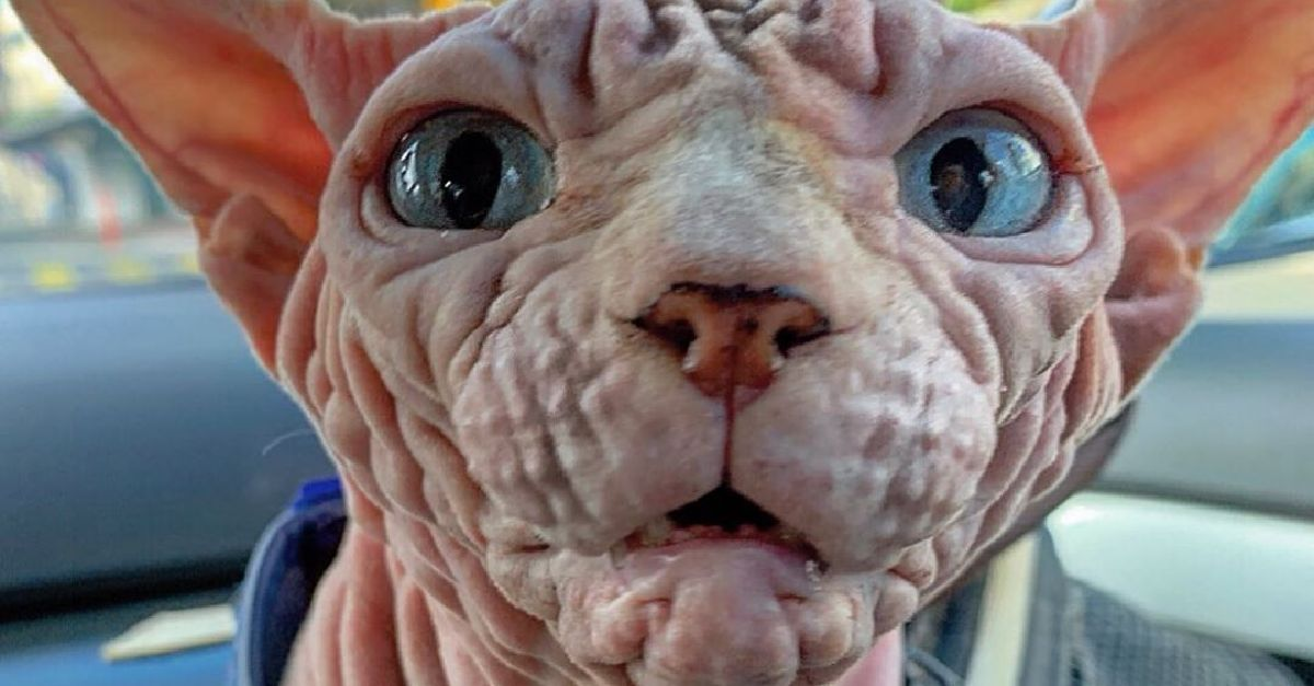 Xherdan The Sphynx Cat S Wrinkled Angry Glare Is The Definition Of Ugly Cute