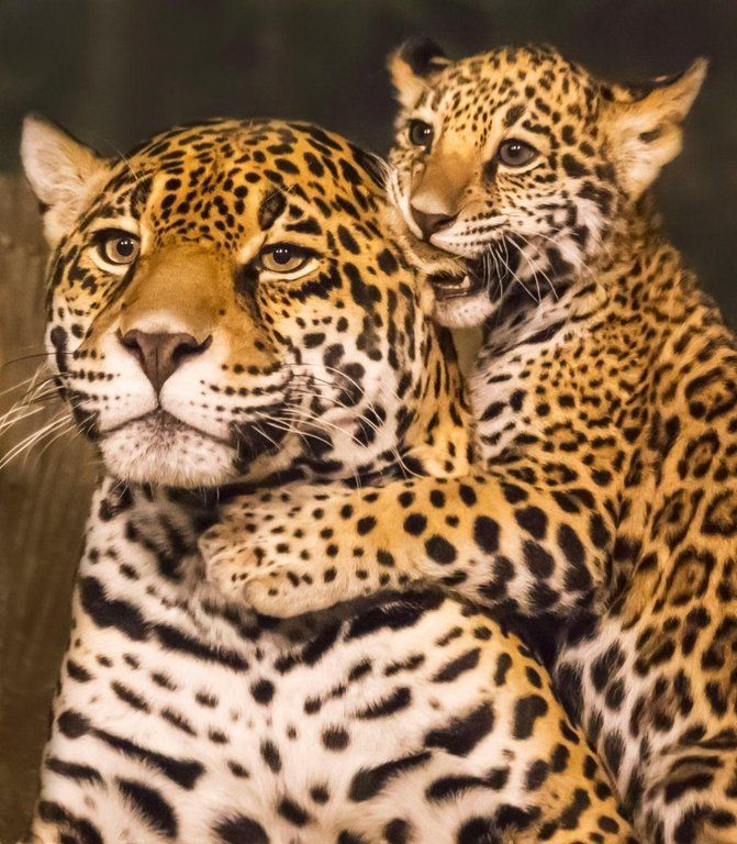 Jaguar Mom Eats The World's First Cub Born By Artificial