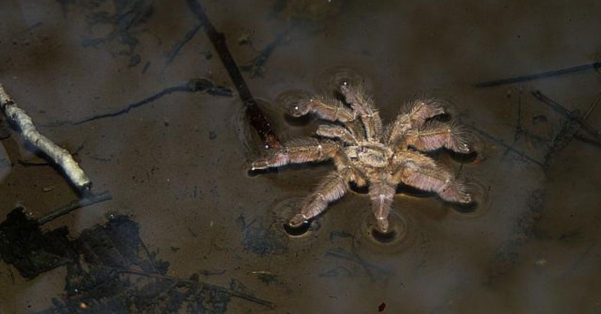 This Video Of A Swimming Tarantula Is Here To Cancel Summer