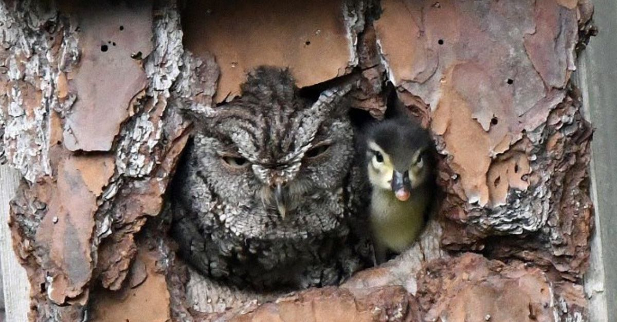 Owl Mistakes Duck Egg For Its Own And Ends Up Raising It Anyway
