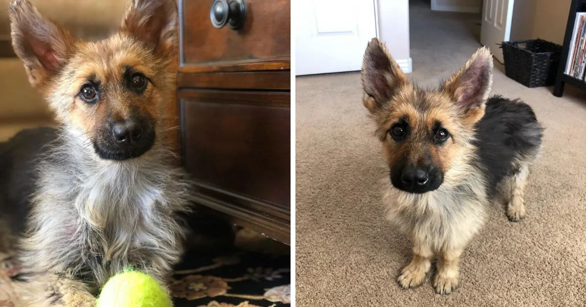 German Shepherd With Dwarfism Is Two Years Old But Still Looks Like A Puppy