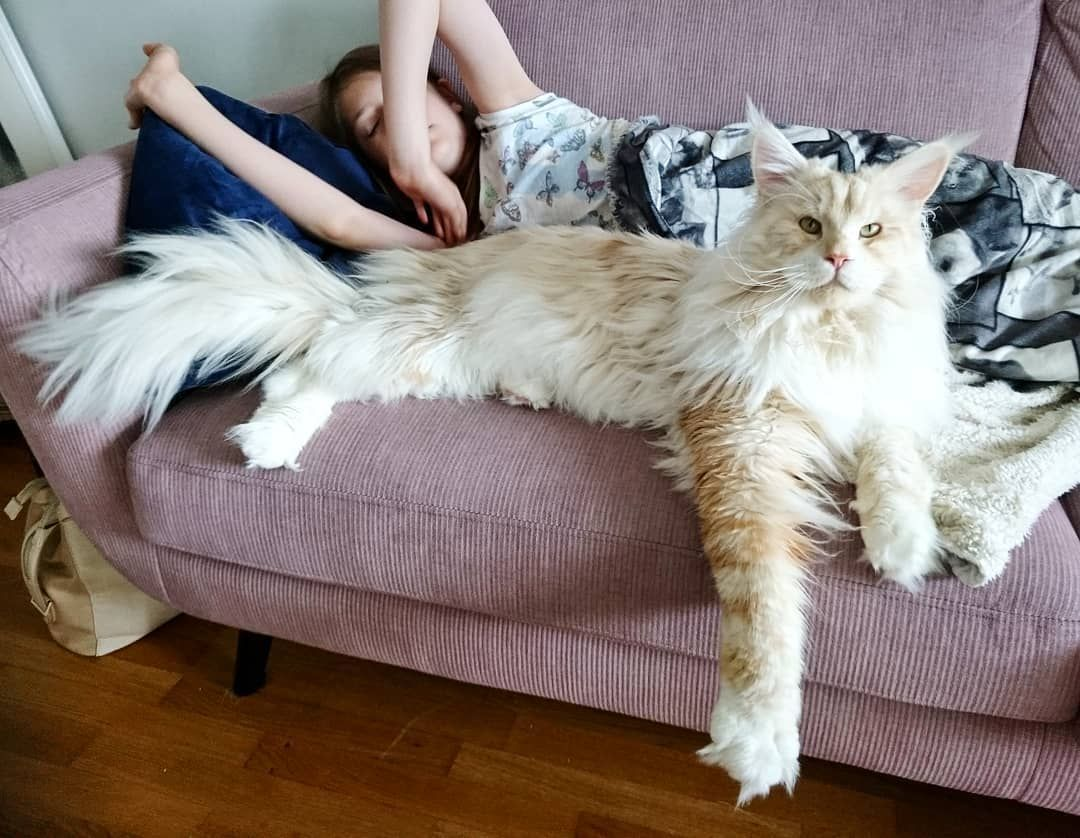 Meet Lotus The Majestically Giant Maine Coon The Internet Is Falling In Love With